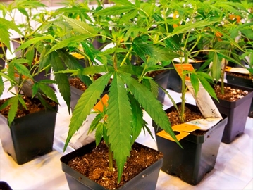 Cannabis seedlings at the new Aurora Cannabis facilty Friday, November 24, 2017 in Montreal.THE CANADIAN PRESS/Ryan Remiorz