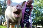 Esther the Wonder Pig unites friends from around the world at 'Nanafest'