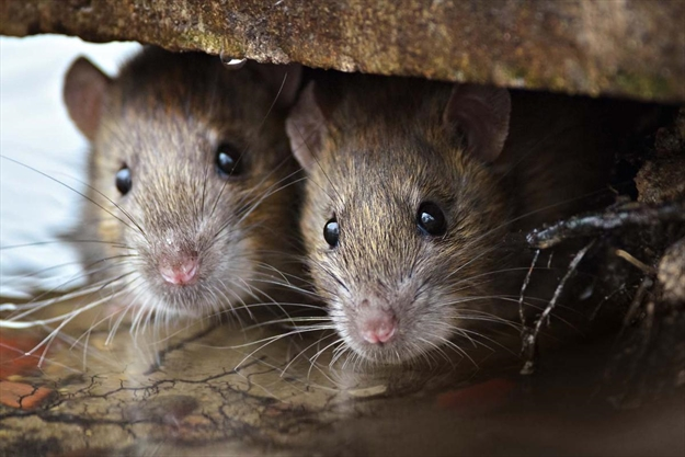 Rat rebate program working in Falls: Staff