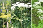 Wild parsnip, cow parsnip, wild hogweed: which of these plants is more toxic?