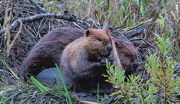 The score: Beavers 14, Wolves 1– Image 1