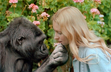 """Koko with her caretaker Penny Patterson in the documentary """"Koko: The Gorilla Who Talks."""""""