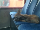 Fox falls asleep aboard Ottawa city bus-Image1