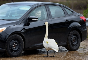 Driver and swan