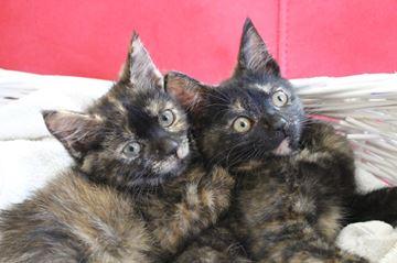 Hershey's Kittens