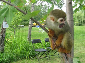 OUR NIAGARA: Monkeying Around