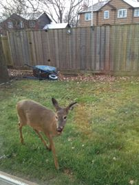 Injured doe attempts to break into Oakville home