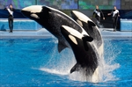 Ontario to ban sale, breeding of killer whales-Image1