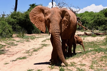Sophie the elephant, named after Sophie Gregorie Trudeau, and her baby are shown in Kenya in a handout photo. THE CANADIAN PRESS/HO-Mark Starowicz MANDATORY CREDIT