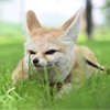 Amazing Animals: Meet Luna the fennec fox