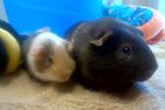 Bonded guinea pig brothers up for adoption in Alliston