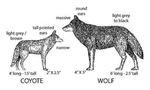 Coyote vs. wolf