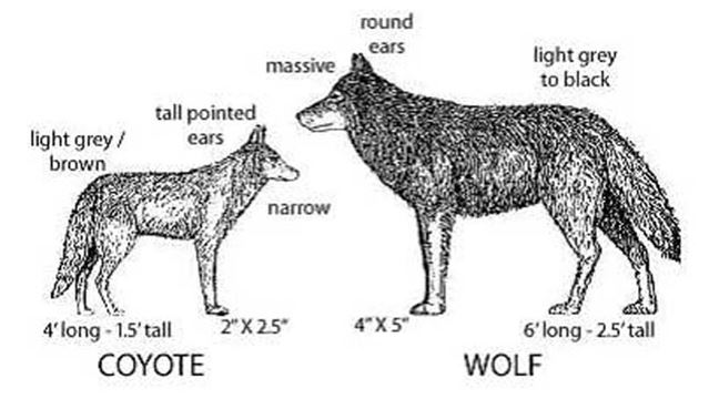 Residents say coyotes killing dogs in Lorne Park are 'giant ...