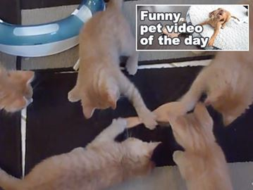 Six ginger kittens make first contact with a brush