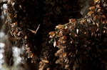 Monarch butterflies rebound in Mexico, numbers still low-Image1