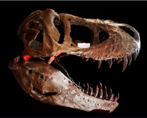 Scientists recover T. rex soft tissue