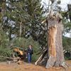 Nearly 80-year-old white pine tree falls due to high winds, misses church