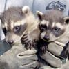 Humane raccoon removal