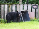 Nuisance bears finding trouble across country-Image1