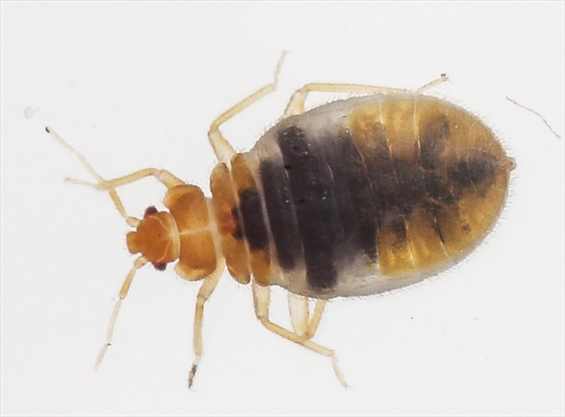 On The List Mississauga Among Canada S Top 25 Bed Bug Cities