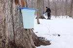 Maple syrup running