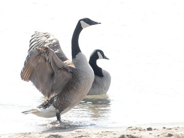 Goose whisperer tells birds to leave Barrie