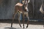 Grevy's zebra filly
