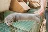 Mink release