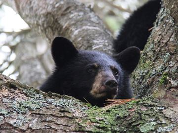 MOTHER BEAR FATALLY SHOT