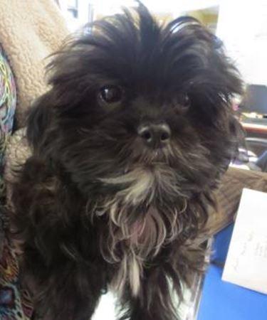 Edith, the stolen Shih Tzu puppy