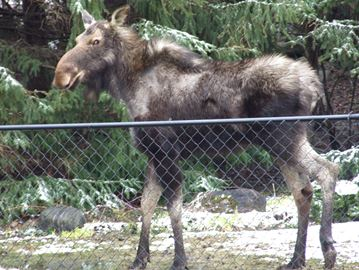 Moose on the loose in Orillia
