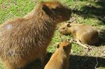 Capybaras at High Park Zoo