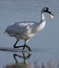 Alberta whooping crane tours grounded?-Image1