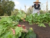 VIDEO: Harvest In the Dundurn Castle Kitchen Garden