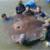 Giant stingray captured on video may be world's largest freshwater fish