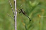 Rare dragonfly in Minesing wetlands declared at-risk species
