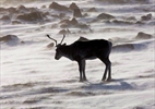 Alberta plans huge lease sale on caribou range-Image1