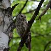 BARRED OWLS SPOTTED IN HUNTSVILLE