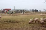Pigs scattered after crash near New Hamburg
