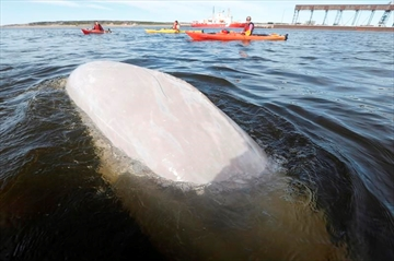 A beluga whale surfaces for air as whale watchers head out in kayaks on the Churchill River in Churchill, Manitoba, Wednesday, July 4, 2018. All it takes is a quick paddle from the western shore of the Hudson Bay and the smiling, curious face of a beluga whale peeks out of the water to greet kayakers floating by. THE CANADIAN PRESS/John Woods