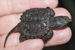 snapping turtle hatchling release