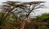 Giraffes, rarer than elephants, put on extinction watch list-Image4