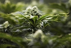 Number of medical cannabis users soars, now almost 130K-Image1
