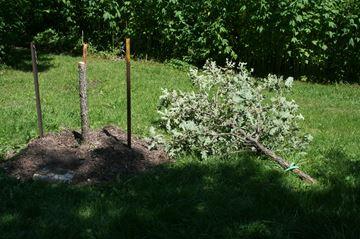 Memorial trees vandalized