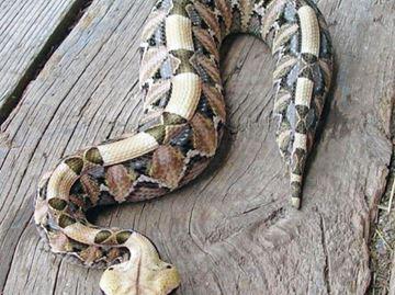 Stolen snakes