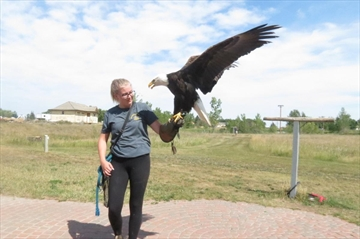 Aimee Weir works with Lincoln, a mature bald eagle, to show his flying technique and speed.
