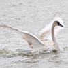 Trumpeter swan swims free in Pickering