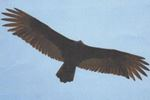 Time for the turkey vultures