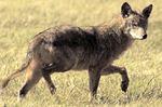 Coyote consultation