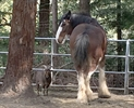Runaway Clydesdale